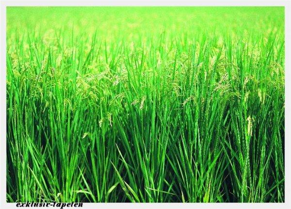 M wallpaper  Grass 1,33 x 2 Meter (150g Vlies)