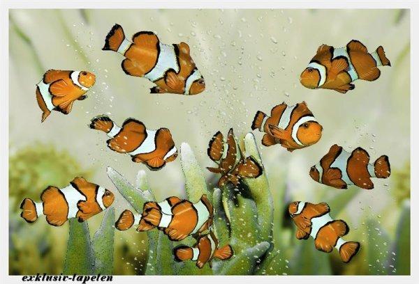 L wallpaper Clownfish 3 x 2,5 Meter (150g Vlies)