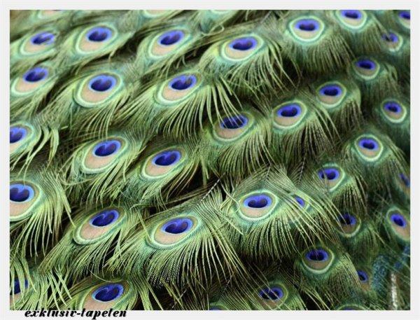 L wallpaper Peacock 3 x 2,5 Meter (150g Vlies)