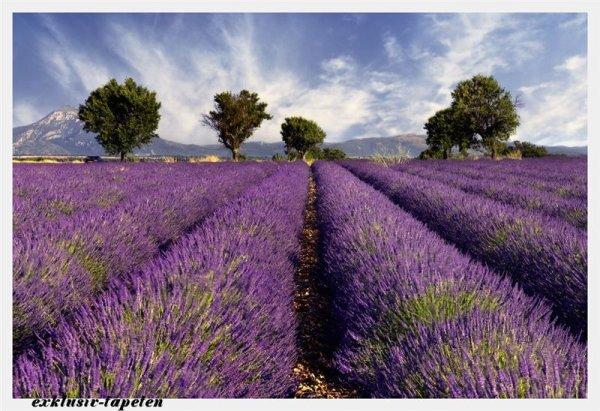 XL wallpaper Lavender 4 x 2,67 Meter (150g Vlies)