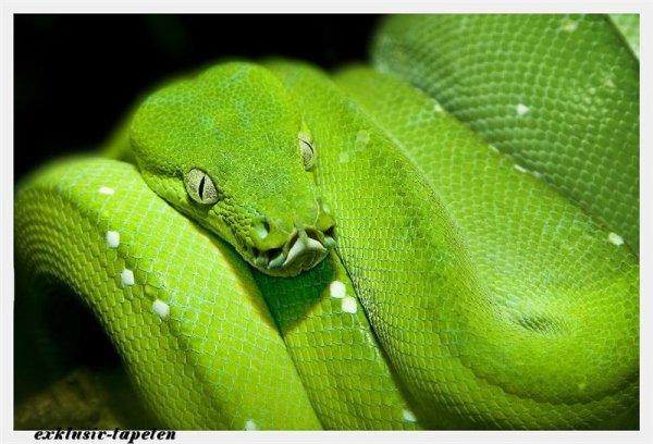 XL wallpaper Green Snake 4 x 2,67 Meter (150g Vlies)