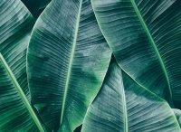 Fototapete 3,5 x 2,55 M. Banana Leaves 1