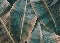 Fototapete 3,5 x 2,55 M. Banana Leaves 2