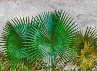 Fototapete 3,5 x 2,55 M. Agave Leaves